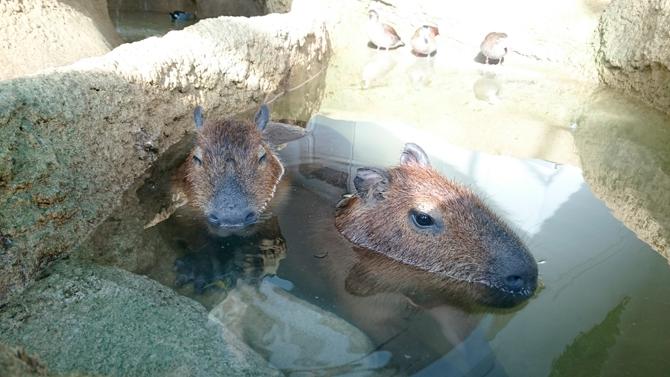カピバラ温泉・風呂